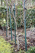 Young U-shaped trellised pear trees and tutored in a garden in winter, Pas de Calais, France