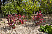 Photinia 'Red Robin' in a garden, spring, Normandy, France