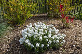 Candytuft (Iberis ciliata) in bloom and Photinia 'Red Robin' in a garden, spring, Normandy, France