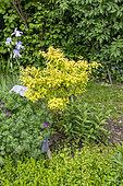 Hardy fuchsia (Fuchsia magellanica) 'Genii' in a garden, spring, Pas de Calais, France