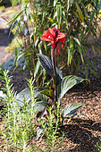 Indian shot (Canna indica) in bloom ion a garden
