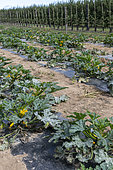 Row of zucchini in a vegetable patch, summer, Pas de Calais, France