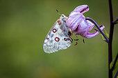 Apollo (Parnassius apollo) on Purple Turk's Cap Lily (Lilium martagon) flower, Fontanalba valley, Roya valley, Casterino, Mercantour National Park, Alpes-Maritimes, France