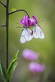 Groupe de Gazé (Aporia crataegi) au repos sur une fleur de lys martagon (Lilium martagon), vallon de Fontanalba, vallée de la Roya, Casterino, Parc National du Mercantour, Alpes-Maritimes, France