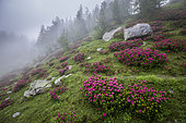 Alpen Rose (Rhododendron ferrugineum) in bloom in the fog, Casterino valley, Roya valley, Casterino, Mercantour National Park, Alpes-Maritimes, France