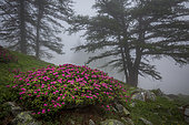 Alpen Rose (Rhododendron ferrugineum) in bloom under the Larches in the fog, Casterino valley, Roya valley, Casterino, Mercantour National Park, Alpes-Maritimes, France