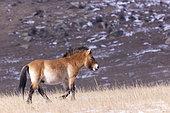 Cheval de Przewalski (Equus caballus przewalskii ou Equus ferus przewalskii), relâché à partir de 1993 dans le parc national de Khustain Nuruu, Parc national Hustai, Mongolie