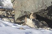 Pika de Pallas ou Pika de Mongolie (Ochotona pallasi), à l'entrée du terrier, Montagnes de l'Altai, Ouest de la Mongolie, Mongolie