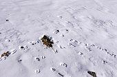 Pika de Pallas ou Pika de Mongolie (Ochotona pallasi, traces à l'entrée du terrier, Montagnes de l'Altai, Ouest de la Mongolie, Mongolie