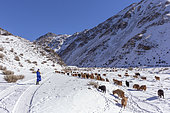 Shepherd with a herd of goats and sheep in the mountains, Valley with snow and rocks, Altai mountains, West Mongolia, Mongolia
