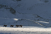 Bactrian camels in the mountains, Valley with snow and rocks, Altai mountains, West Mongolia, Mongolia
