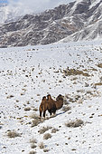 Bactrian camel in the mountains, Valley with snow and rocks, Altai mountains, West Mongolia, Mongolia