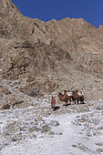 Shepherd and camels carrying sacs of ice to supply water, Altai mountains, West Mongolia, Mongolia