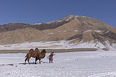 Shepherd and a camel in the snow, Altai mountains, West Mongolia, Mongolia