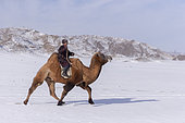 Bactrian camel race in the plain, Kanhman village, Altai mountains, West Mongolia, Mongolia