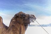 Bactrian camel race in the plain, Kanhman village, Altai mountains, West Mongolia, Mongolia