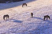 Przewalski's horse or Mongolian wild horse or Dzungarian horse ( Equus przewalskii or Equus ferus przewalskii), reintroduced from 1993 into Khustain Nuruu National Park, Hustai National Park, Mongolia