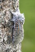 Puss Moth (Cerura vinula) on a poplar trunk, spring, Pas de Calais, France