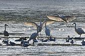 Great Egret (Ardea alba), fishing in the pond of Malsaucy in autumn draining, Territoire de Belfort, France