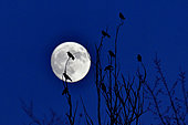 Carrion crows (Corvus corone corone) against the light on background of full moon, France