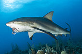 Caribbean reef shark (Carcharhinus perezi) eating a Red lionfish (Pterois volitans), in the Queen's Gardens National Park, Cuba.