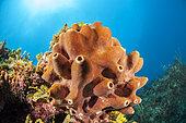 Brown encrusting octopus sponge (Ectyoplasia ferox), in the Queen's Gardens National Park, Cuba