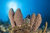 Brain tube sponge (Agelas cerebrum), in the Queen's Gardens National Park, Cuba
