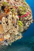 Smooth tube sponge (Callyspongia fallax), in the Queen's Gardens National Park, Cuba