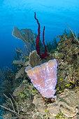 Azure Vase Sponge (Callyspongia plicifera), on the reef. Queen's Gardens National Park, Cuba