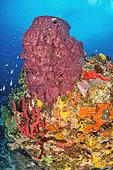 Barrel Sponge (Xestospongia muta), Erect Rope Sponge (Amphimedon compressa), Pink vase sponge (Niphates digitalis), Brown Tube Sponge (Agelas conifera), off Cape Salomon. Martinique Marine Natural Park.