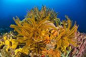 Golden Crinoid (Davidaster rubiginosus), off Cape Salomon. Martinique Marine Natural Park.
