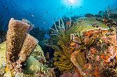 Golden Crinoid (Davidaster rubiginosus) and Pink vase sponge (Niphates digitalis), off Cape Salomon. Martinique Marine Natural Park.