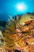 Golden Crinoid (Davidaster rubiginosus), off Cape Solomon. Natural Marine Park of Martinique.