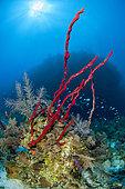 Erect Rope Sponge (Amphimedon compressa), in the Queen's Gardens National Park, Cuba.