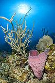 Pink vase sponge (Niphates digitalis) and Sea Fan (Plexaurella sp), in the Queen's Gardens National Park, Cuba.