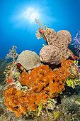 Brown encrusting octopus sponge (Ectyoplasia ferox) and Brain tube sponge (Agelas cerebrum), in the Queen's Gardens National Park, Cuba