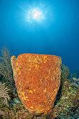 Netted barrel sponge (Verongula gigantea), in the Queen's Gardens National Park, Cuba.