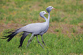 Blue Crane (Grus paradisea), two adults walking, Western Cape, South Africa