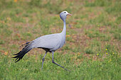 Blue Crane (Grus paradisea), side view of an adult walking, Western Cape, South Africa