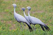 Blue Crane (Grus paradisea), three adults walking in a grassland, Western Cape, South Africa