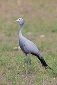 Blue Crane (Grus paradisea), adult standing on the ground, Western Cape, South Africa