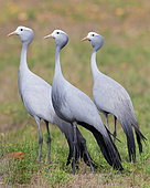 Blue Crane (Grus paradisea), three adults standing on the ground, Western Cape, South Africa