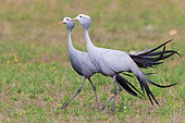 Blue Crane (Grus paradisea), two adults walking in a grassland, Western Cape, South Africa