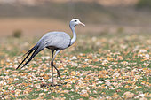 Blue Crane (Grus paradisea), adult walking on a stony ground, Western Cape, South Africa