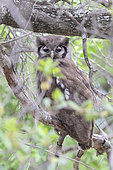 Verreaux's Eagle Owl (Bubo lacteus), adult resting in the canopy during the day, Mpumalanga, South Africa