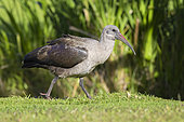 Hadada Ibis (Bostrychia hagedash), side view of an adult standing on the ground, Western Cape, South Africa
