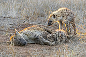 Spotted Hyena (Crocuta crocuta), an adult female and two cubs resting, Mpumalanga, South Africa