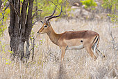 Impala (Aepyceros melampus), side view of an adult male standing under a tree, Mpumalanga, South Africa