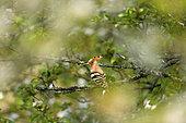 Hoopoe (Upupa epops) on a branch in a cherry tree, Burgundy, France