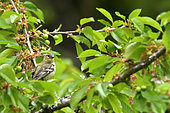 Chaffinch (Fringilla coelebs) immature on a branch in a cherry tree, Burgundy, France